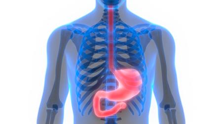 Human Digestive System (Stomach Anatomy)