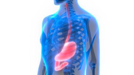esophagus: Human Digestive System (Stomach Anatomy)