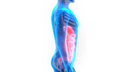 large intestine: Human Digestive System Anatomy Stock Photo