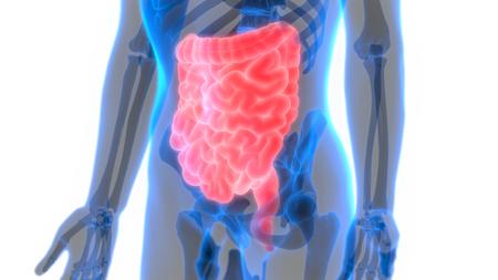 Human Body Organs (Large and Small Intestine) Anatomy