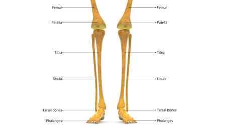 Human Body Bone Joint Pains Anatomy (Leg Joints) Stock Photo