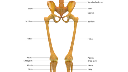 Human Body Bone Joint Pains Anatomy (Hip with Legs) Stock Photo