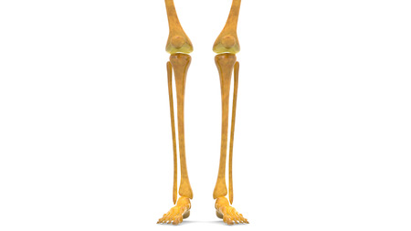 patella: Human Body Bone Joint Pains Anatomy (Leg Joints) Stock Photo