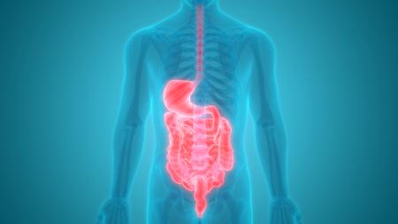 esophagus: Human Digestive System Anatomy Stock Photo