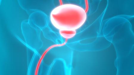urinary bladder: Human Body Organs (Kidneys with Urinary Bladder)