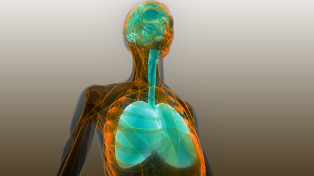 Human Organs Lungs and Brain Anatomy