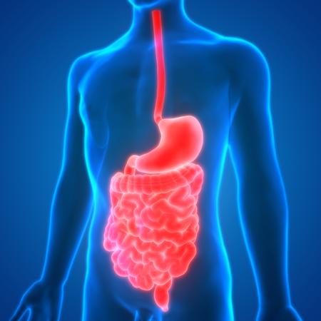digesting: Human Digestive System Anatomy Stock Photo