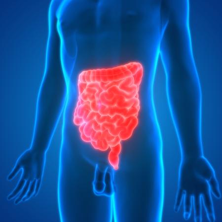 digesting: Human Digestive System Anatomy (large and Small Intestine) Stock Photo