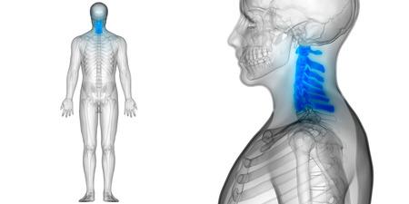 척수 (자궁 경부 척추) 인간 해골 해부의 일부