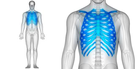 인체 뼈 관절 통증 해부학 (갈비뼈)