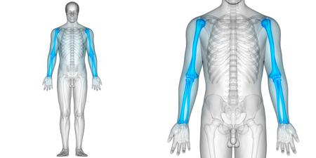 인체 뼈 관절 통증 해부학 (반경과 척골이있는 상완골)
