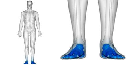 인체 뼈 관절 통증 해부학 (발 관절)