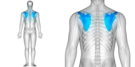 인체 뼈 관절 통증 해부학 (견갑골)