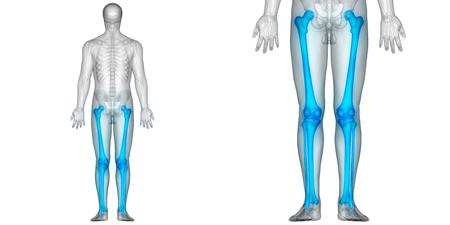 Human Body Bone Joint Pains Anatomy (Femur with Tibia and Fibula) Banco de Imagens