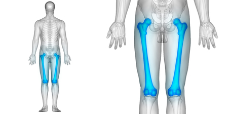 인간의 신체 뼈 관절의 해부학 (대퇴골)