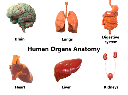 Human Body Organs Anatomy (Brain, Lungs, Digestive System, Heart ...
