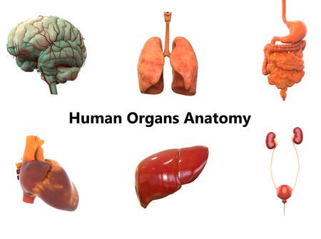 Menschlicher Körper Organe Anatomie (Gehirn, Lunge, Magen-Darm ...