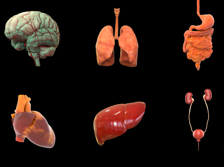 Human Body Organs Anatomy (Brain, Lungs, Digestive system, Heart, Liver and Kidneys)