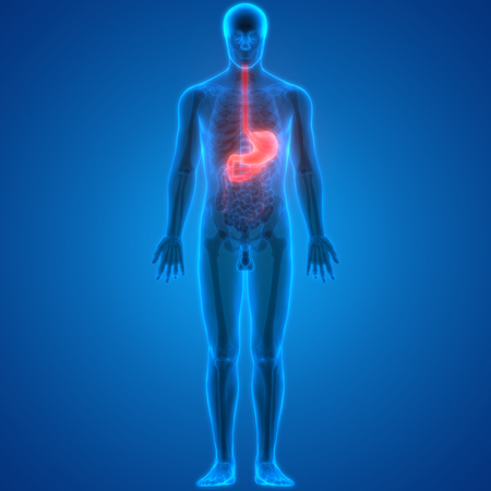 large intestine: Human Digestive System (Stomach Anatomy)