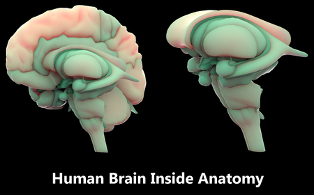Human Brain Inside Anatomy