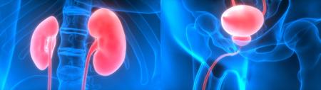 Human Body Organs (Kidneys with Urinary Bladder)