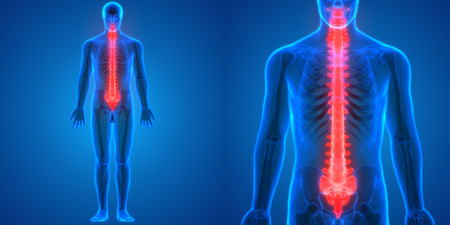 인간 해골 해부의 일부인 척수 스톡 콘텐츠