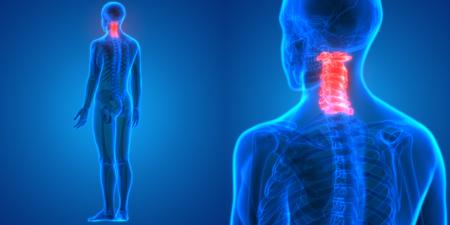 ulna: Spinal cord a Part of Human Skeleton Anatomy (Cervical Vertebrae)