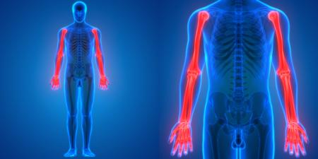 ulna: 3D Illustration of Human Body Bone Joint Pains Anatomy