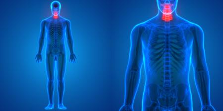 척수 인간의 해골 해부학 (자궁 척추)