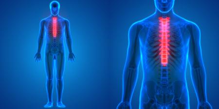 척수 해부학 (Thoracic Vertebrae) 스톡 콘텐츠