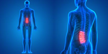 척수 인간의 해골 해부학 (허리 척추)