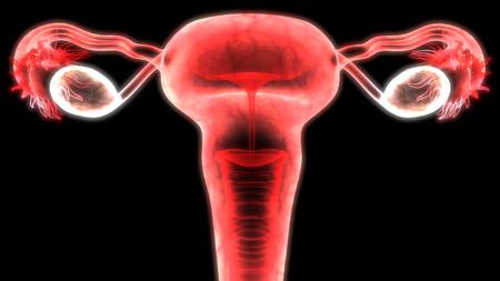 여성 생식 기관 해부학