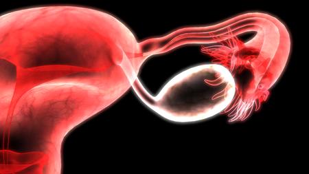 Weibliche Fortpflanzungssystem Anatomie Standard-Bild - 92995232