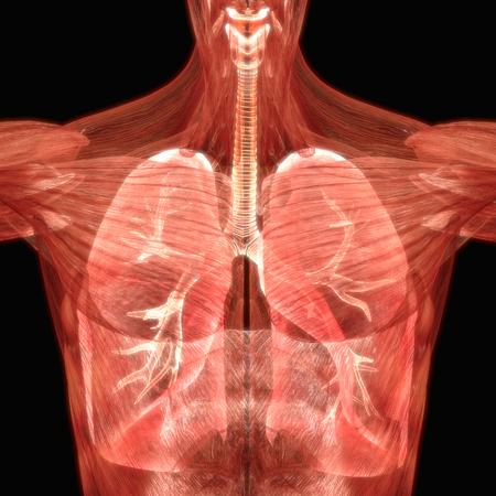 인체 장기 (폐 해부학) 스톡 콘텐츠