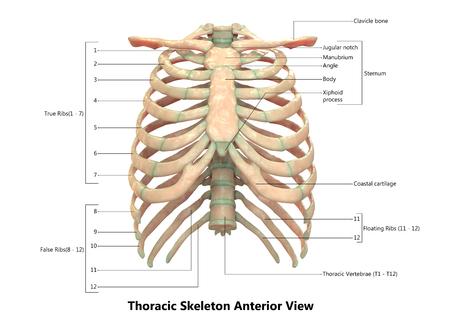 인간 해골 체계 흉부 해골 해부학 (전방)