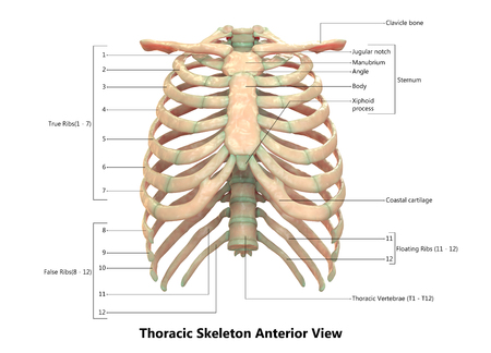 Human Skeleton System Thoracic Skeleton Anatomy (Anterior View) Stock Photo