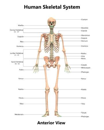 인간 해골 시스템 해부학 (전방)
