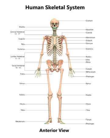 Human Skeleton System Anatomy (Anterior View)