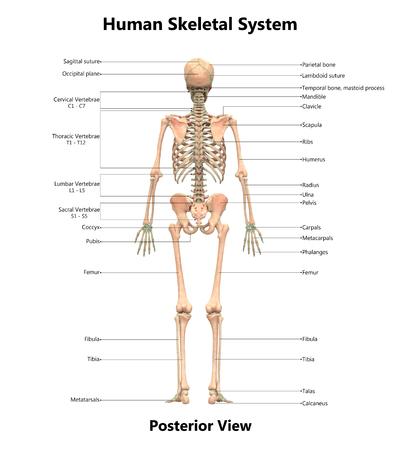 인간 해골 시스템 해부학 (후방)