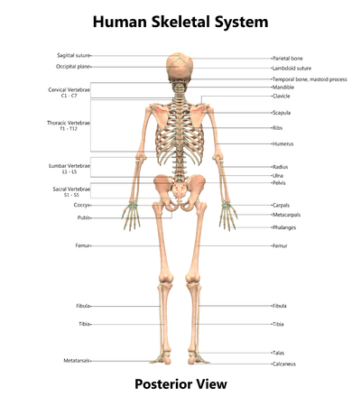 Human Skeleton System Anatomy Posterior View Stock Photo Picture