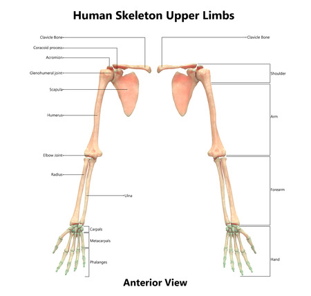Upper Extremity Skeletal System Diagram - DIY Enthusiasts Wiring ...