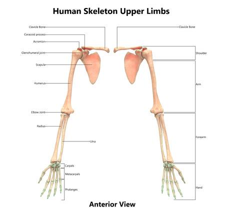 Human Skeleton System Upper Limbs Anatomy Anterior View Stock
