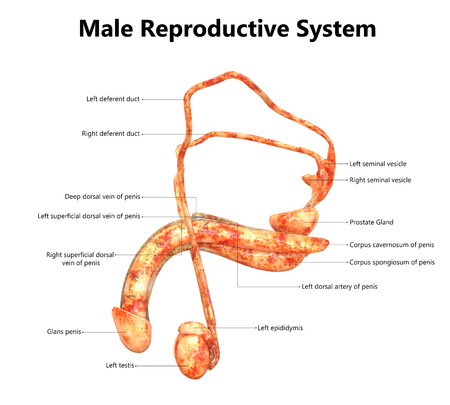Male Reproductive System with Labels Anatomy (Lateral View)