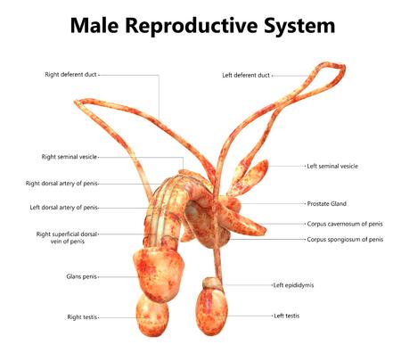 Sistema Reproductivo Masculino con Anatomía de Etiquetas