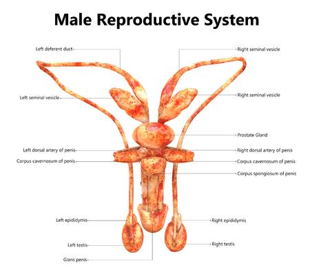 해부학 (후방보기)이있는 남성 생식 기관