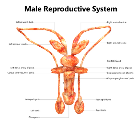 Male Reproductive System with Labels Anatomy (Posterior View) Stock Photo