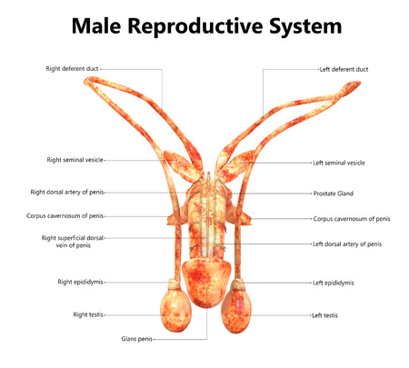 Male Reproductive System with Labels Anatomy (Anterior View)
