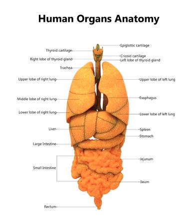해부학을 가진 인체 기관