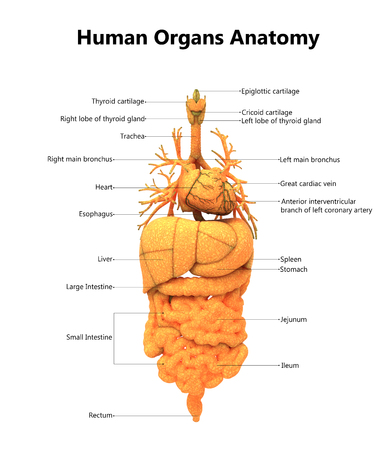 Human Body Organs With Labels Anatomy Stock Photo, Picture And ...