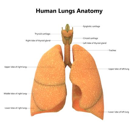 해부학 레이블과 인간의 신체 기관 (폐)